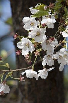 Flowers, Wood, Quarter, Nature, Plants, Cherry Tree