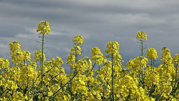 Agro-industry, Field, Flower, Rapeseed, Nature