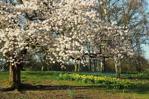 Tree, Season, Nature, Cherry Wood, Plant, Spring