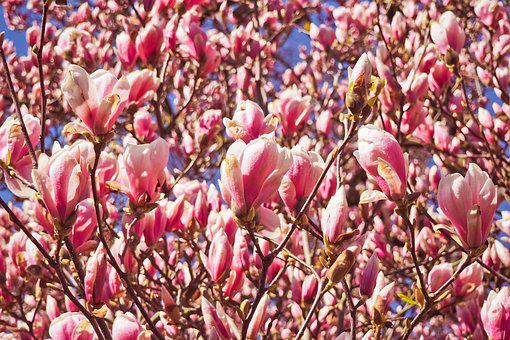 Flower, Nature, Plant, Bright, Season, Magnolia, Garden