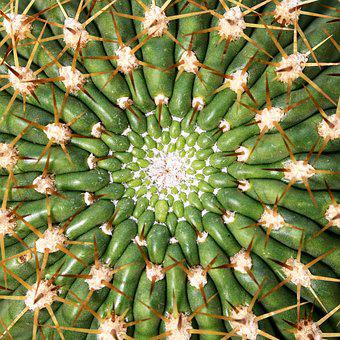 Cactus, Barbed, Juice Plant, Thorn, Sharp, Thorns