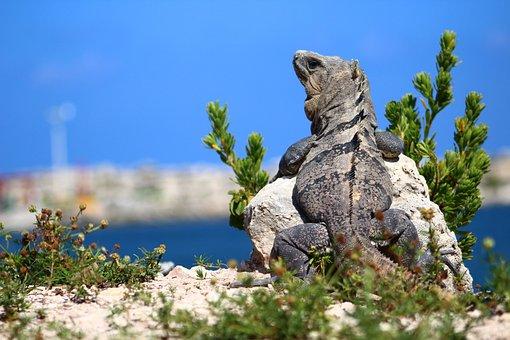Nature, Travel, Sky, Tree, Iguana, Lizard, Ocean