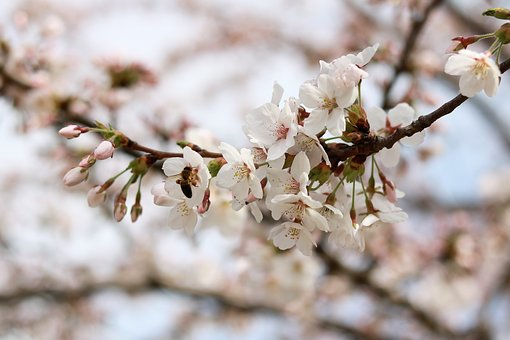 Cherry Wood, Flower, Tree, Branch, Nature, Plant