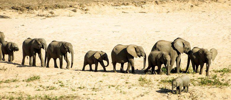 Elephant, Wildlife, Safari, Mammal, Herd, Travel, Bush