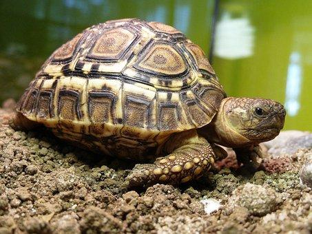 Turtle Leopardia, Terrestrial Turtle, Turtle, Africa