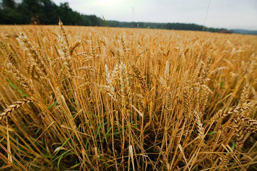Cereals, Wheat, Harvest, Agriculture, Farm, Field