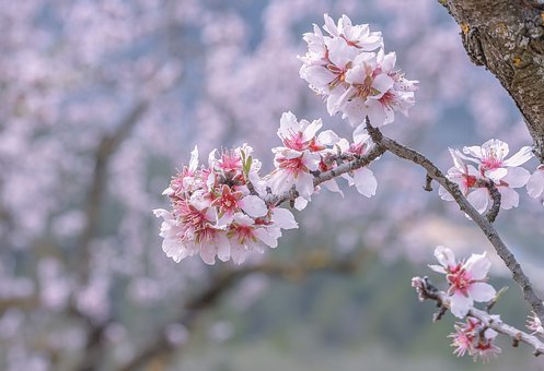 Almond, Flower, Branch, Tree, Season, Nature, Blooming