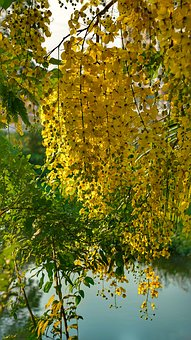 Elephants Trunk, Pea Flower, Golden Rain Tree, Amaltas