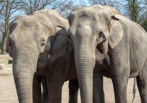 Elephant, Animal World, Tribe, Mammal, Ivory, Animal