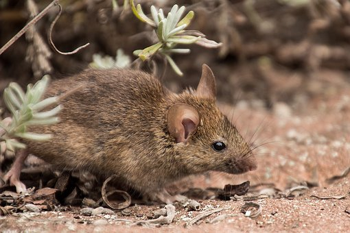 Field Mouse, Mouse, Nature, Animal, Mammal, Rodent