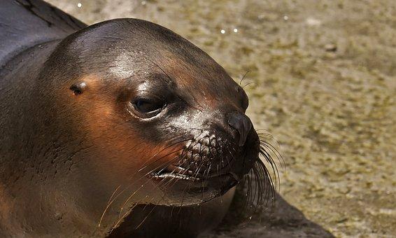 Seal, Sea Lion, Water, Robbe, Meeresbewohner, Animal