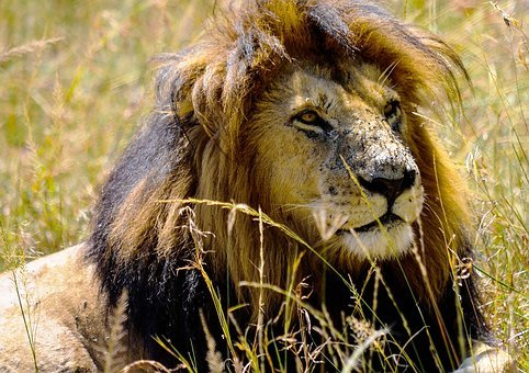 Kenya, Safari, Nairobi, Wild Life, Animal, King, Leon