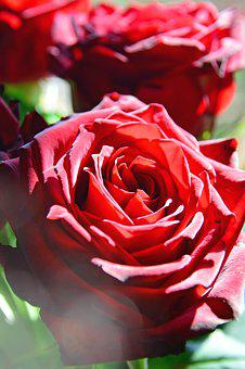 Rose, Flower, Petal, Floral, Plant, Romantic, Beautiful