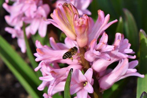 Hyacinth, Flowers, Spring Flower, Bee, Pollen, Sprinkle