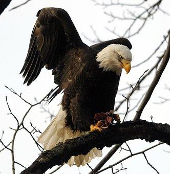 Raptor, Bird, Eagle, Wildlife, Bald Eagle, Animal