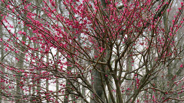 Tree, Season, Nature, Blossom, Bloom, Pink, Mourning