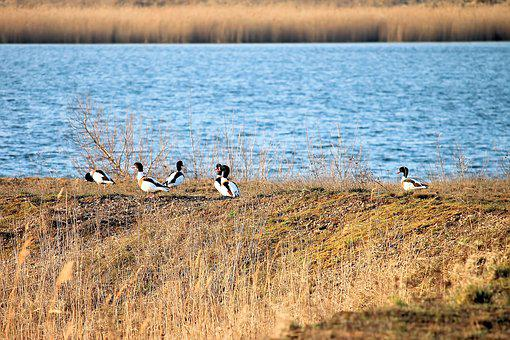 Brand Geese, Nature, Waters, Lake, Reed, Landscape