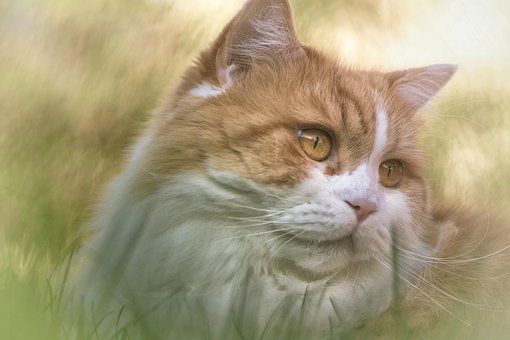 Cat, British Long Hair, Breed Cat, Animal, Pet