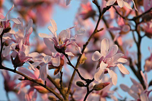 Magnolia, Flowers, Evening Sun, Bloom, Bush, Pink