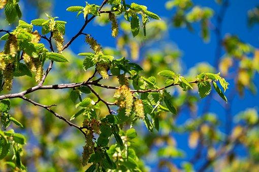 Hornbeam, Tree, Carpinus Betulus, Deciduous Tree
