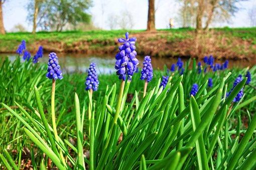 Muscari, Common Grape Hyacinth, Bulbous, Perennial