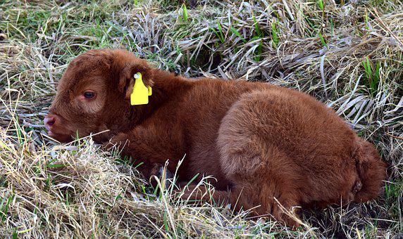 Calf, Young, Cow, Galloway, Highland Beef, Scottish