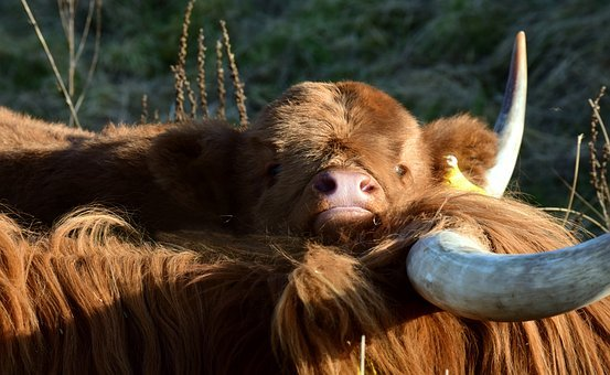 Calf, Cow, Galloway, Highland Beef, Snuggle, Tender