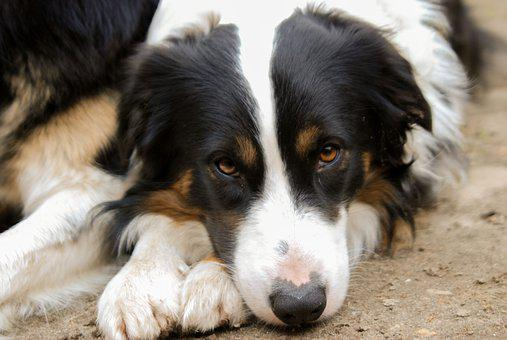 Dog, Animal, Pet, Mammal, Cute, Collie, Thoroughbred