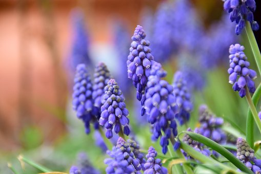 Nature, Flower, Plant, Season, Garden, Grape Hyacinth