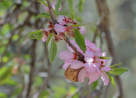Flower, Nature, Branch, Tree, Flora, Almond, Outdoors