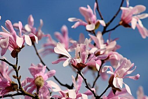 Magnolia, Flowers, Bloom, Bush, Pink, Spring, Nature