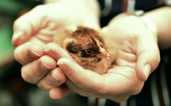Chicks, Hatched, Chicken, Fluffy, Young Animal, Small
