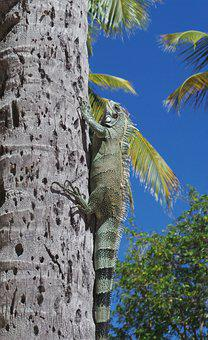 Iguana, Watch, Lizard, Reptile, Animals, Nature
