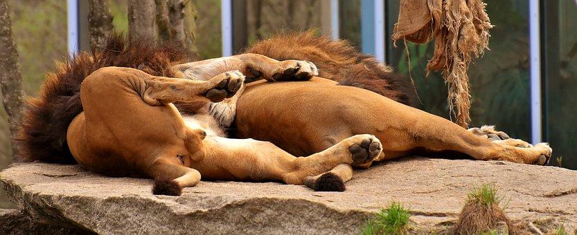 Lion, Predator, Sleep, Cozy, Rest, Dangerous, Mane, Cat