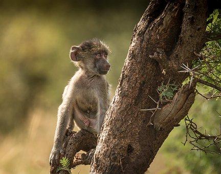 Monkey, Wildlife, Mammal, Nature, Primate, Cute