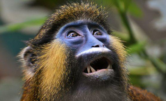 Monkey, Animal, Furry, Wildlife Photography, Portrait