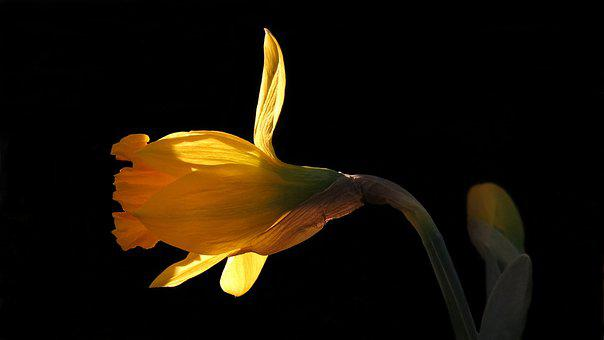 Narcissus, Daffodil, Nature, Yellow Flower