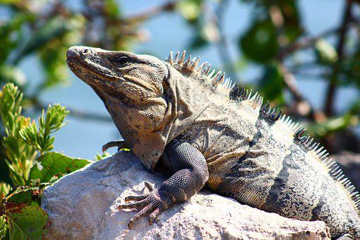 Lizard, Reptile, Animal, Nature, Wildlife, Iguana