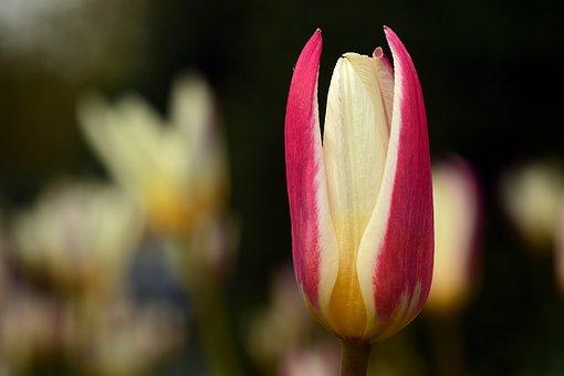 Tulip, Flower, Blossom, Bloom, Close, Nature, Plant