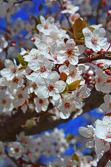 Flower, Nature, Cherry, Season, Branch, Blooming, Petal