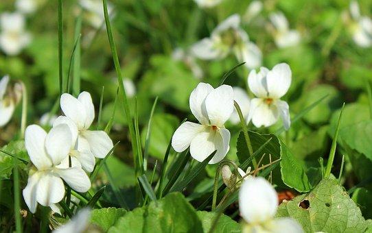 Violets, White, Spring Flowers, April, Flower, Nature