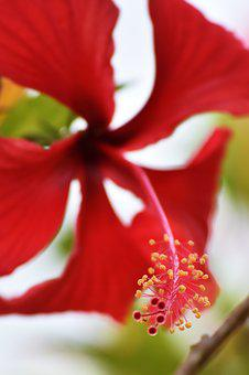 Flower, Nature, Plant, Leaf, Summer, Hibiscus, Petal
