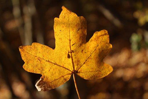Autumn, Leaf, Natural, Season, Plant, Color, Gold