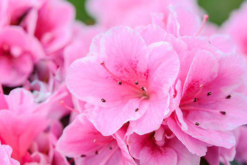 Pink Flowers, Flower, Nature, Plant, Garden, Floral