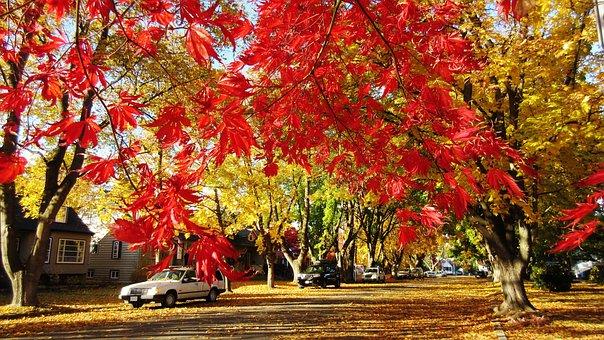 Maple Tree, Red Leaf, Fall, Autumn, Street