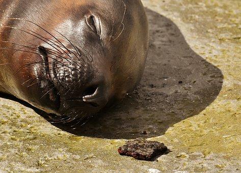 Seal, Sea Lion, Sleep, Water, Robbe, Meeresbewohner