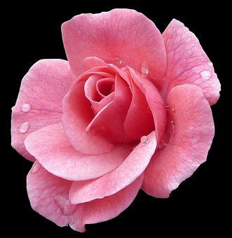 Rose, Pink, Picturesque, Isolated, Flower, Bloom