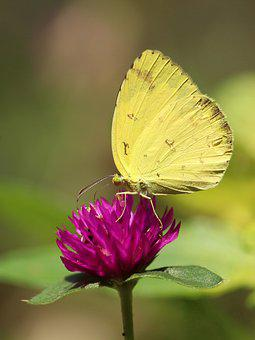 Nature, Insect, Butterfly, Outdoors, Flower, Summer