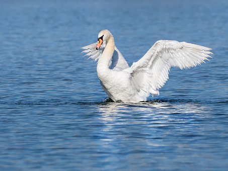 Swan, Water Bird, Start, Wing, Water, Mute Swan, Pond
