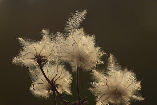 Seeds, Tender, Filigree, Multiply, Nature, Fluffy